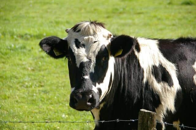 cow-234835_640
