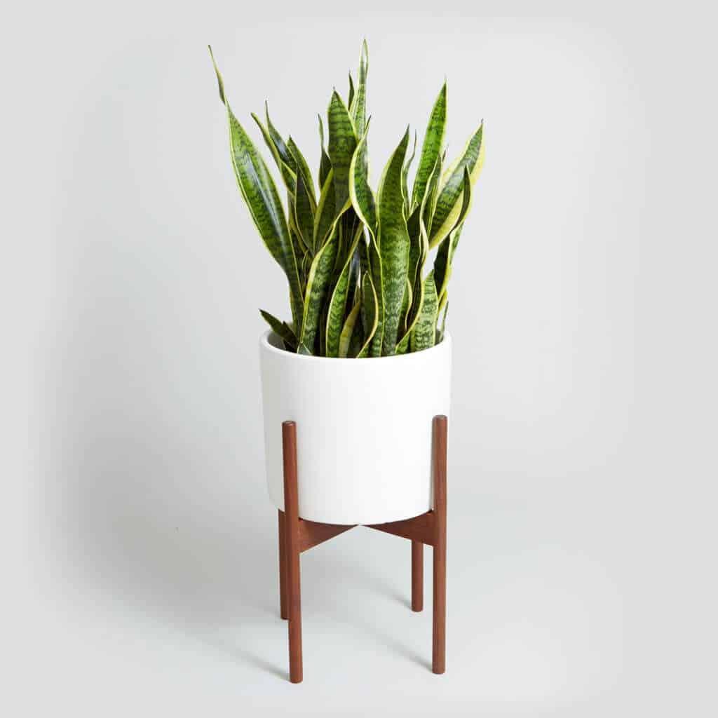 Modernica_nyc_snake_plant_white