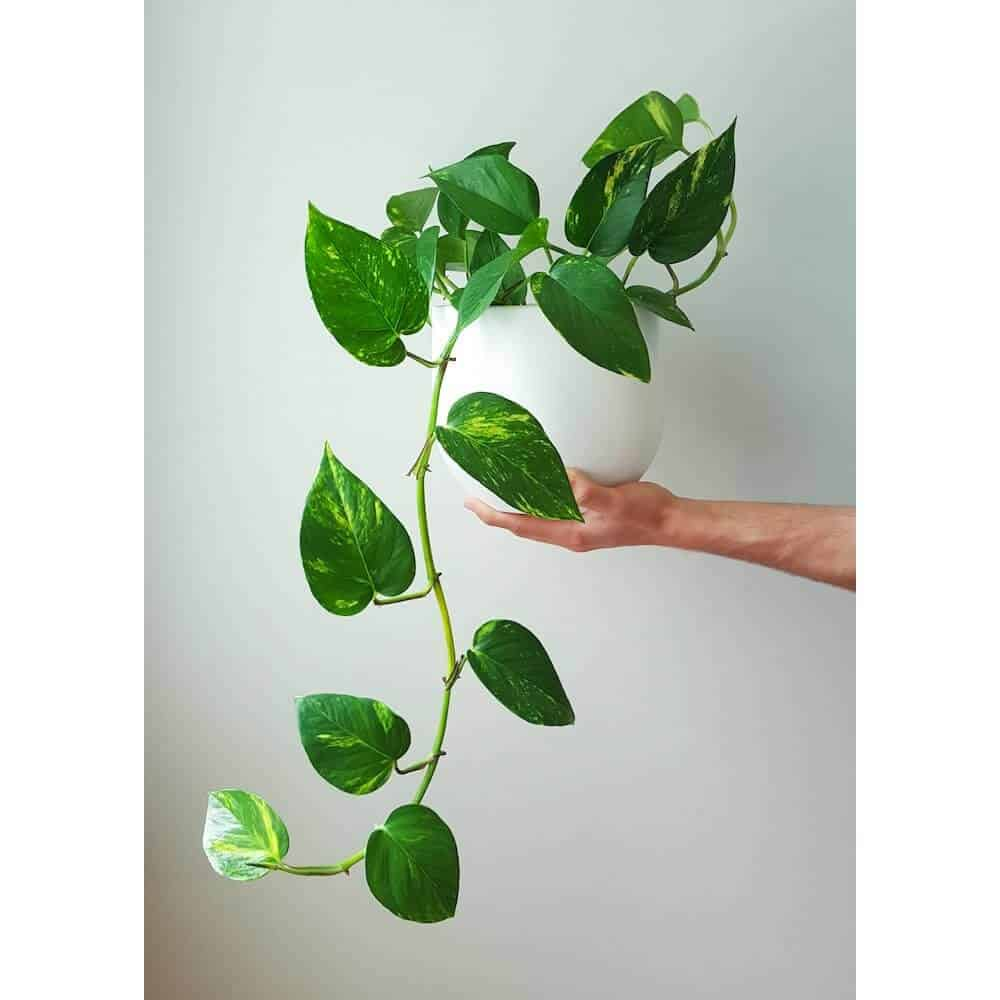 5 gorgeous indoor vines to grow in your home. Black Bedroom Furniture Sets. Home Design Ideas