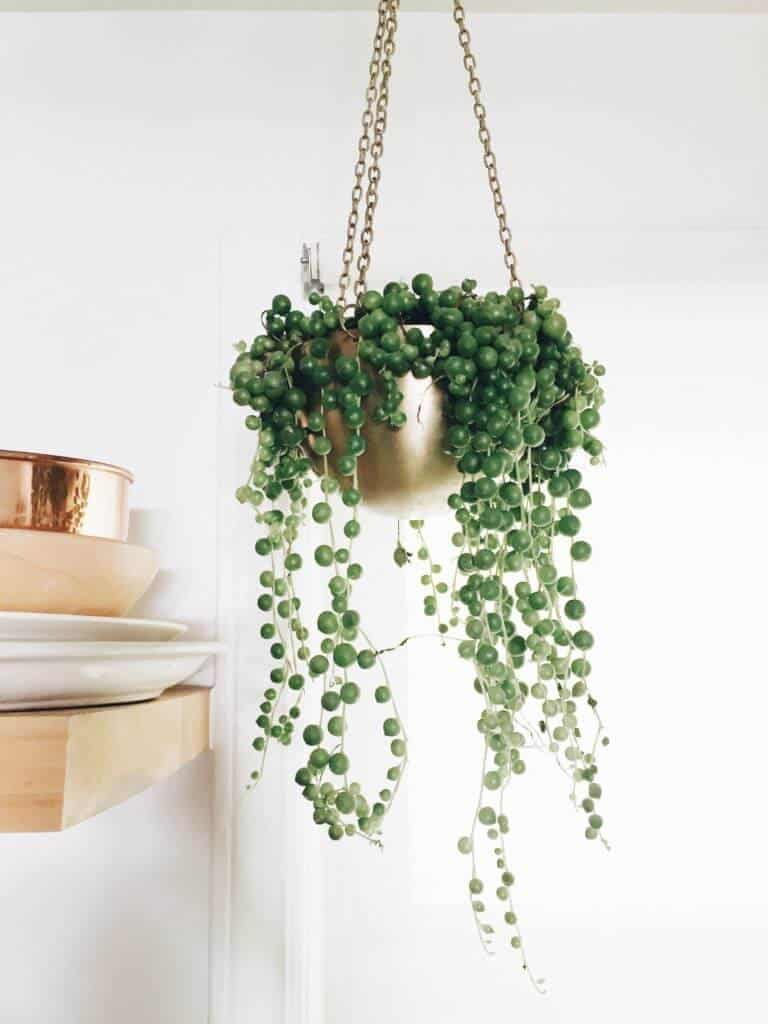 5 Gorgeous Indoor Vines To Grow In Your Home on colorful house plants, unusual house plants, green house plants, indoor plants, caring for house plants, fruit non edible plants, water house plants, rare house plants, minnesota house plants, climbing house plants, trailing house plants, dumb cane house plants, potted house plants, viney house plants, tropical house plants, best house plants, watering house plants, japanese house plants, small house plants, tall house plants,